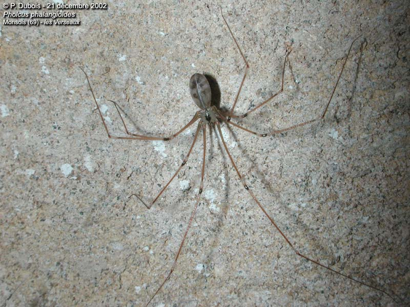 (Pholcus phalangioides)