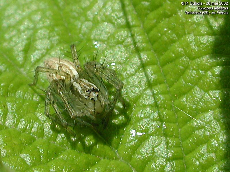 Oxyopes lineatus (Oxyopes lineatus)