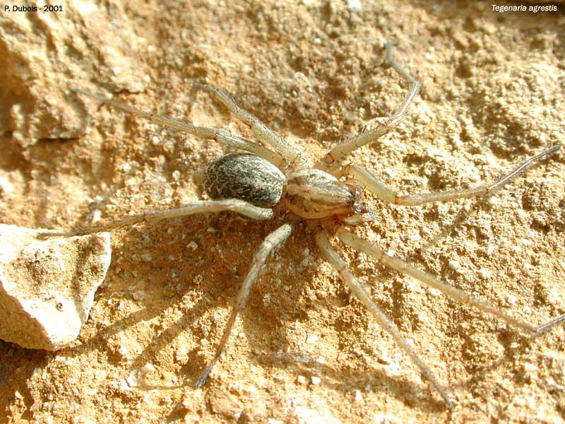 Tegenaria agrestis (Tegenaria agrestis)