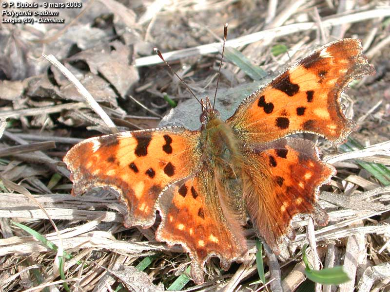 Le Robert-le-diable (Polygonia c-album)