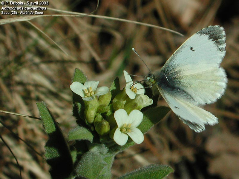 L'Aurore (Anthocharis cardamines)