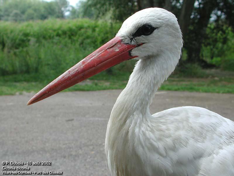 La Cigogne blanche  2703CiconiaCiconia