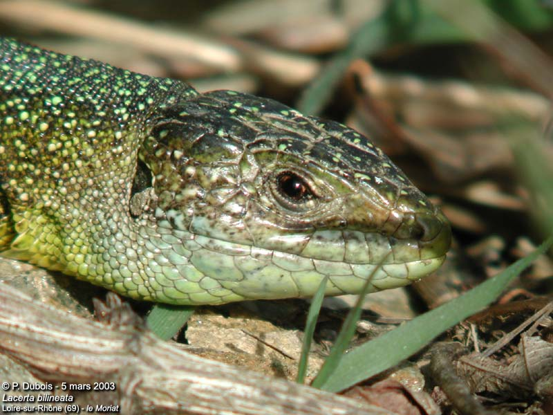 Lézard vert occidental (Lacerta (viridis) bilineata)