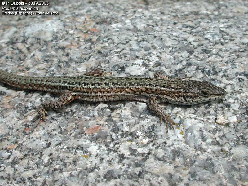 Lézard hispanique (Podarcis hispanica)