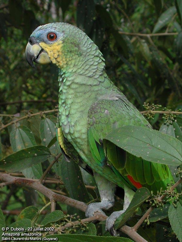 amazone amazonica